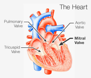 What are the types of Heart Valve Replacement Surgeries?